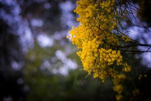 Yellow flowers on wattle tree branch