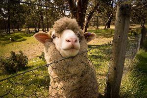 Sheep peeking head over wire fence